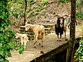 Goat family (3466024266).jpg