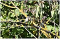 Gobemouche noir femelle (ou mâle en plumage juvénile automnal) (48743256573).jpg
