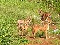 Golden jackal (Canis aureus) കുറുനരി.jpg
