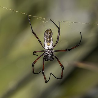 <i>Nephila</i> Genus of spiders