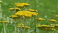 Goldgarbe (Achillea filipendulina 'Parkers').JPG