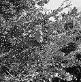 Granaatappels aan de boom, Bestanddeelnr 255-4267.jpg