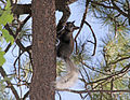 Grand Canyon National Park North Rim - Kaibab Squirrel 0188.jpg
