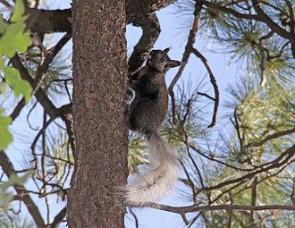 Kaibab squirrel - Kaibab squirrel at Grand Canyon National Park North Rim
