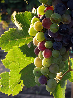 Grapes during pigmentation