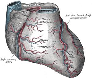Infundibulum (heart) - Sternocostal surface of heart. (Infundibulum (Conus arteriosus) visible at top center.)