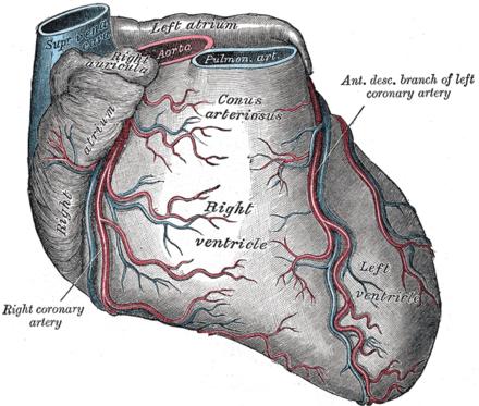 hjertet organ wikipedia