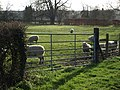 Grazing sheep - geograph.org.uk - 669089.jpg