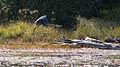 Great Blue Heron (Ardea herodias) in Flight - Algonquin Provincial Park, Ontario 01.jpg