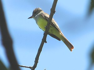 Greenbelt (Ottawa) - Great crested flycatcher (Myiarchus crinitus), Mer Bleue Conservation Area.