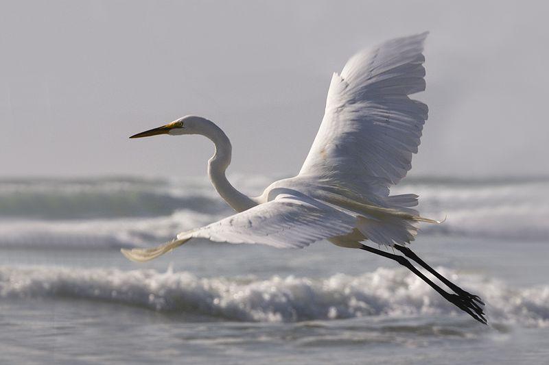Great Egret (Ardea alba) on Morro Strand State Beach, CA.jpg