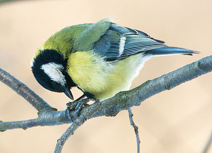 Great Tit Lodz(Poland)(js)03.jpg