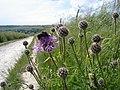 Greater Knapweed - Centaurea scabiosa - geograph.org.uk - 1469072.jpg