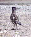 Greater Roadrunner (26303774591).jpg