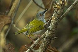 Green-backed Cameroptera - Malawi S4E3341 (17142013720).jpg