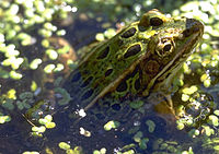Green-leopard-frog-in-swamp.jpg