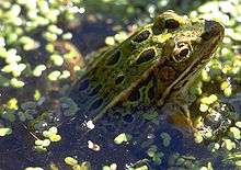 220px-Green-leopard-frog-in-swamp dans GRENOUILLE