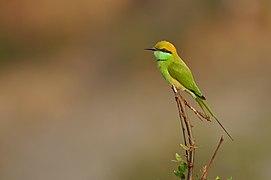 Green Bee-eater DSC 6246.jpg