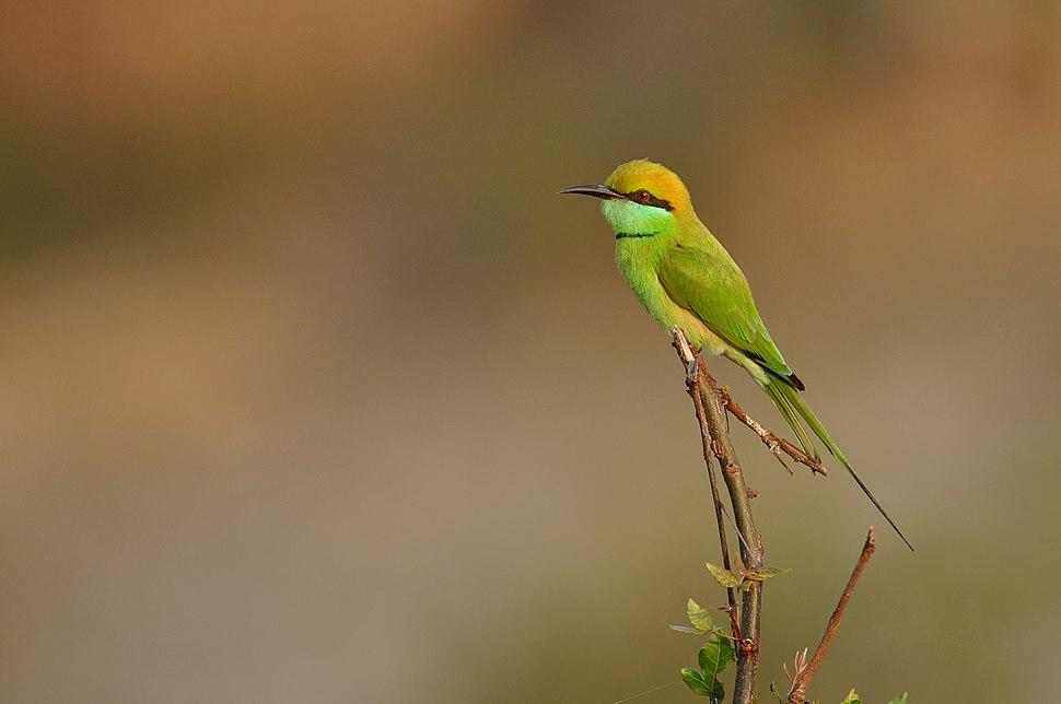 Green Bee-eater DSC 6246