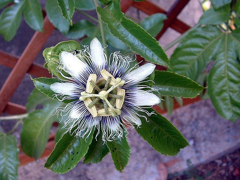 passiflora edulis zu verschenken das gro e lexikon der zimmerpflanzen. Black Bedroom Furniture Sets. Home Design Ideas