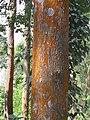 Grevillea robusta - silver oak in Wayanad (2).jpg