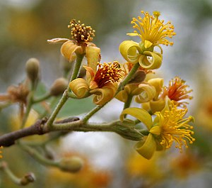 Grewia - Grewia damine flowers in Hyderabad, India