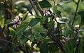 Grewia occidentalis 3.jpg