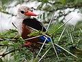 Grey-headed Kingfisher, Lake Manyara National Park - 2015-01-13.jpg