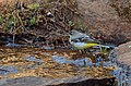 Grey wagtail (Motacilla cinerea) from nilgiris DSC 0798.jpg