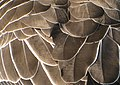 Greylag goose feathers - geograph.org.uk - 1235789.jpg