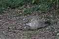 Groundhog (36992888753).jpg