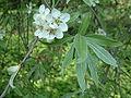 Grusza wierzbolistna Pyrus salicifolia var Pendula RB1.JPG