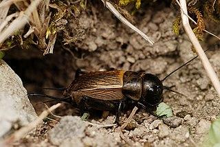 Svrček poľný (Gryllus campestris) - samička