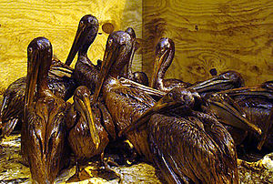 Gulf-Oiled-Pelicans-June-3-2010.jpg
