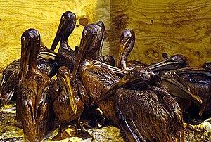 Timeline of the Deepwater Horizon oil spill (June 2010) - Oil-fouled pelicans on June 3