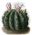 Gymnocalycium monvillei ssp monvillei BlKakteenT30.jpg