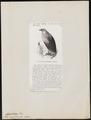 Gypohierax angolensis - 1872 - Print - Iconographia Zoologica - Special Collections University of Amsterdam - UBA01 IZ18100151.tif