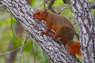 Red bush squirrel species of mammal