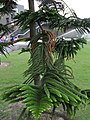 HK 中山紀念公園 Sun Yat Sen Memorial Park lawn 異葉南洋杉 Araucaria columnaris leaves April-2012.jpg