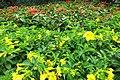HK Shek Tong Tsui 中西區 Western District 豐物道 Fung Mat Road yellow flowers plant April 2018 IX2 02.jpg