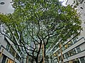 HK Sheung Wan 前 荷李活道已婚警察宿舍 former Hollywood Road Police R & F Married Quarters Aberdeen Street Dec-2013 (7).JPG