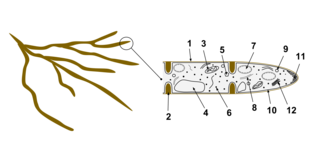 eukaryote wikipedia Fungal Cell Diagram fungal cell[edit]