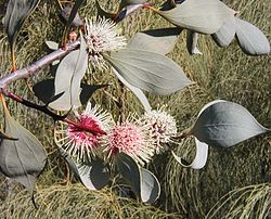 meaning of hakea