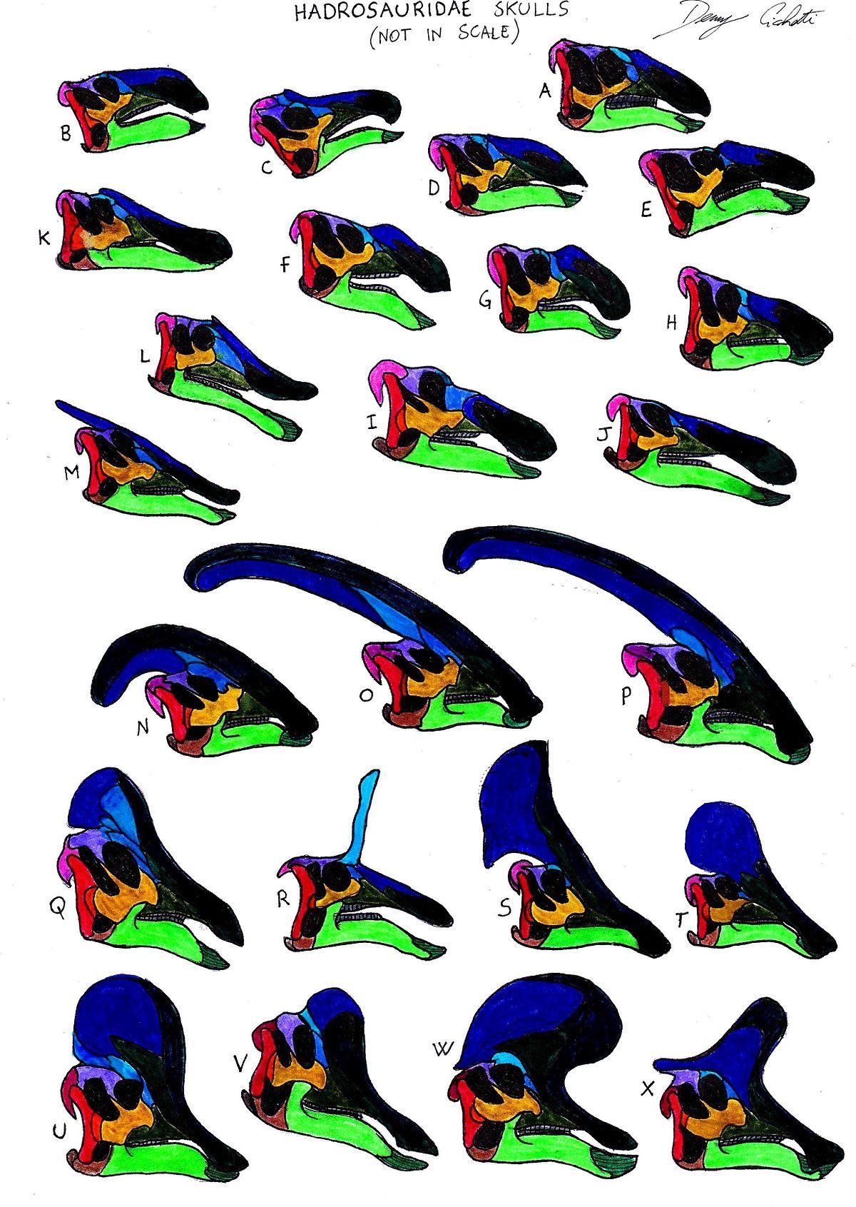 Hadrosauridae skull comparison (not in scale).jpg