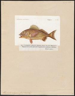 Striped grunter Species of fish