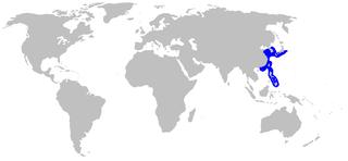 Blackspotted catshark species of fish