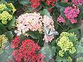 Hampyeong butterfly festival 153.JPG