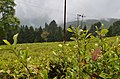 Happy Valley Tea Estate, Darjeeling (8716424317).jpg