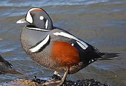 Harlequin duck (Histrionicus histrionicus) (12918080305).jpg