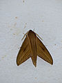 Hawkmoth (Theretra rhesus) (15577826516).jpg